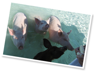 Swimming Pigs in Sampson Cay, Exuma Bahamas